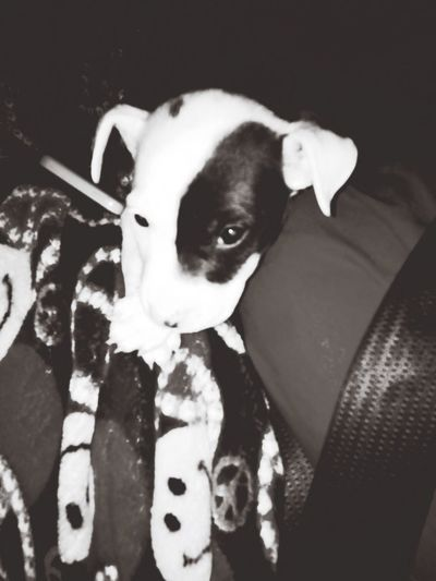 Black & White Cute Pets Pit Bulls Getting Inspired