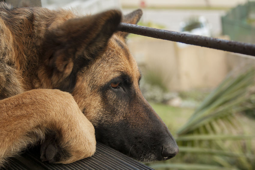Every dog must have his day. Alsatian Animal Themes Canine Canine Companion Close-up Day Dog Dog Photography Dogs Dogs Of EyeEm Dogslife Domestic Animals German Shepherd Mammal Nature No People One Animal Outdoors What Who Where