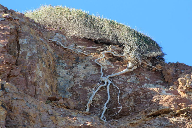 Beach Life Cliffside Tree Roots  Exposed Roots Life Finds A Way Hallet Cove Conservation Park, South Australia