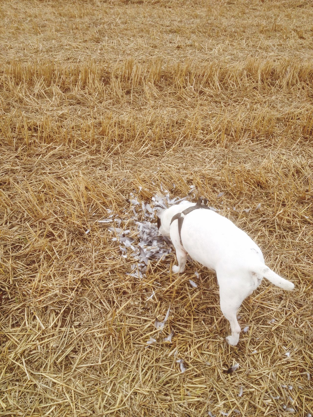 My dog in the wheatfield after harvest checking out the scene where the bird of prey killed it's pigeon dinner mother nature is red in tooth and claw Bird Of Prey Nature Red In Tooth And Claw Predator Countryside