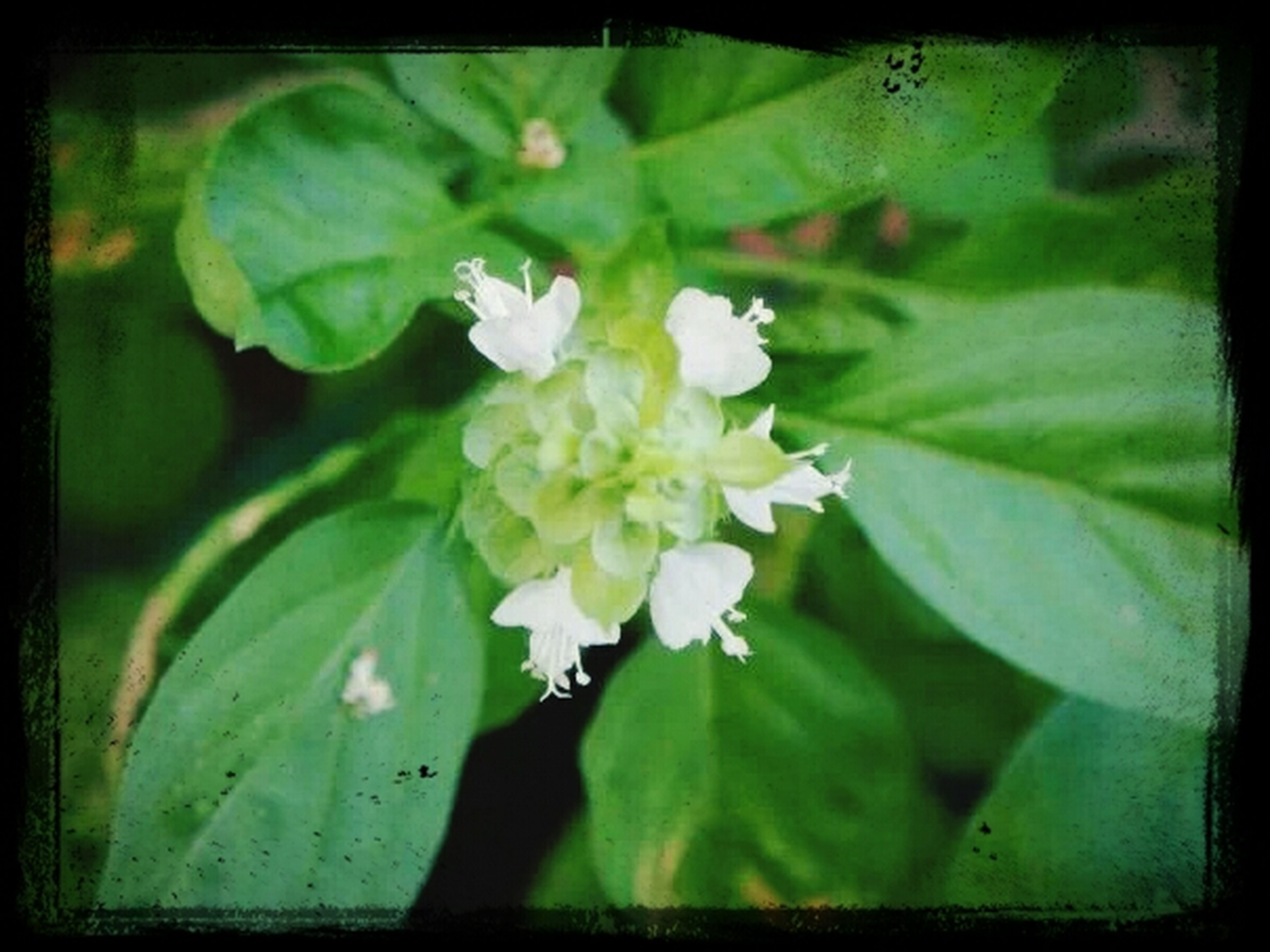 flower, freshness, transfer print, growth, petal, fragility, leaf, flower head, beauty in nature, auto post production filter, white color, blooming, green color, nature, plant, close-up, focus on foreground, in bloom, blossom, outdoors