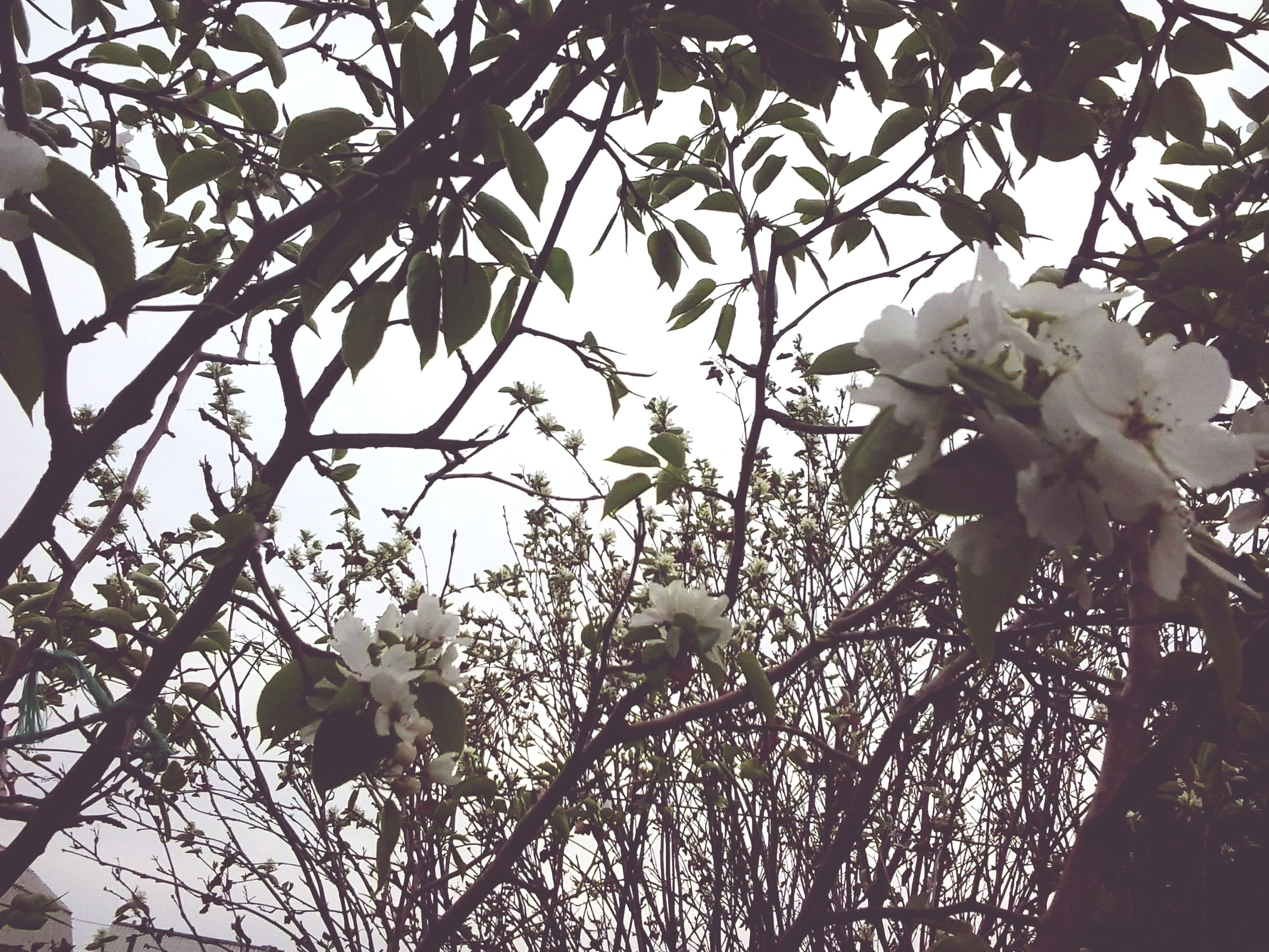 flower, growth, branch, freshness, tree, low angle view, fragility, beauty in nature, nature, petal, blossom, blooming, white color, in bloom, sky, cherry blossom, flower head, close-up, springtime, twig