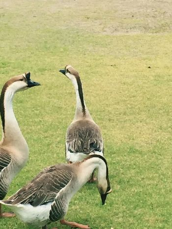 Gansos Bird Animal Themes Animals In The Wild Animal Wildlife Goose Day Gosling Grass Togetherness No People Nature Outdoors EyeEmNewHere