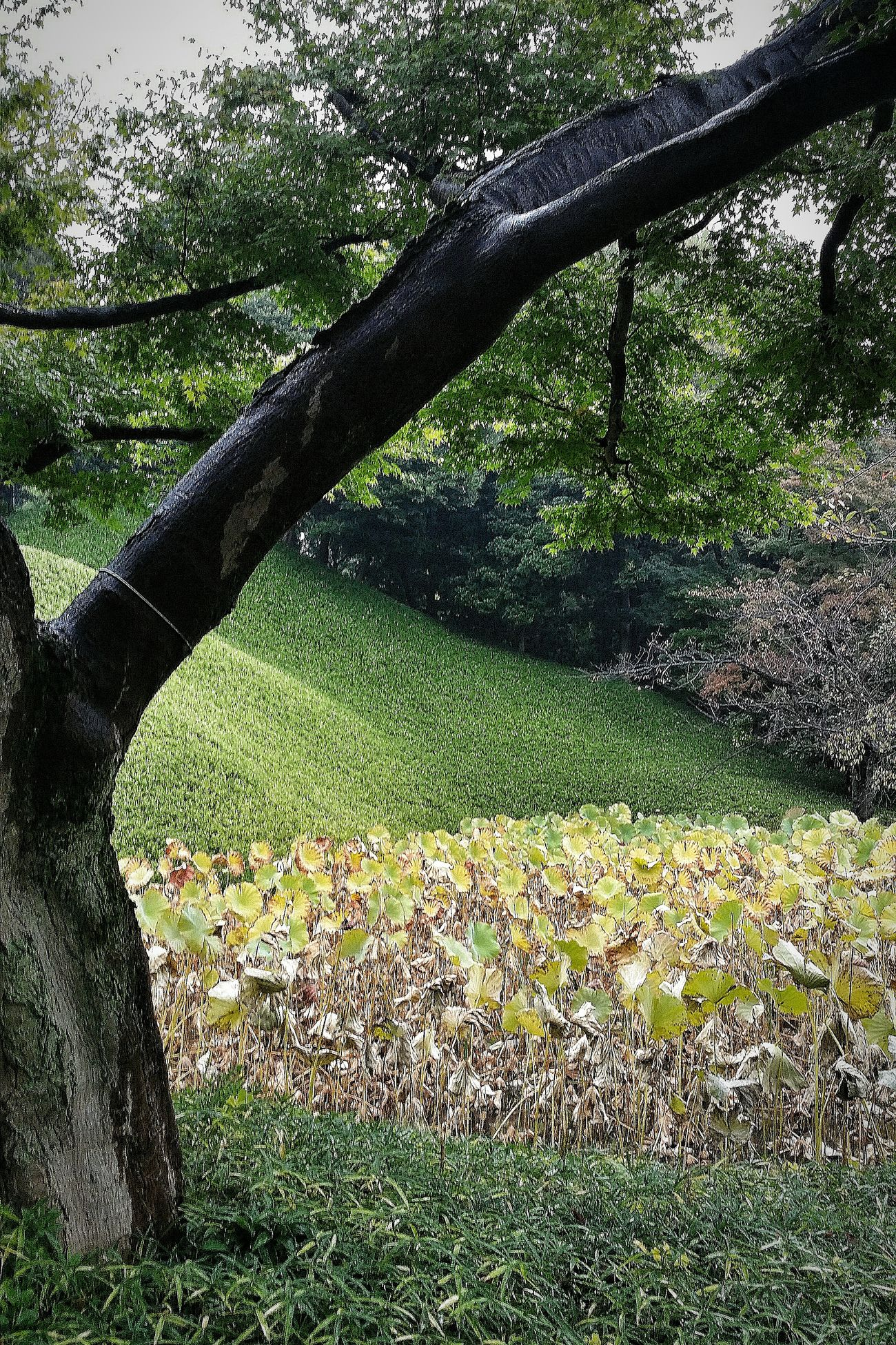 Lotus Pond Koishikawa Korakuen Nature EyeEm Nature Lover Naturelover Nature Photography Nature_collection Tokyo Nature Autumn 2015 Tokyo Autumn 2015 Tokyo Japan Travelphotography