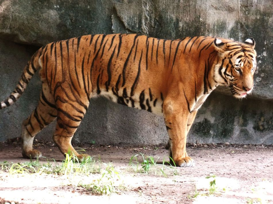 Beautiful stock photos of tiger, , Animal Themes, Beige, Day