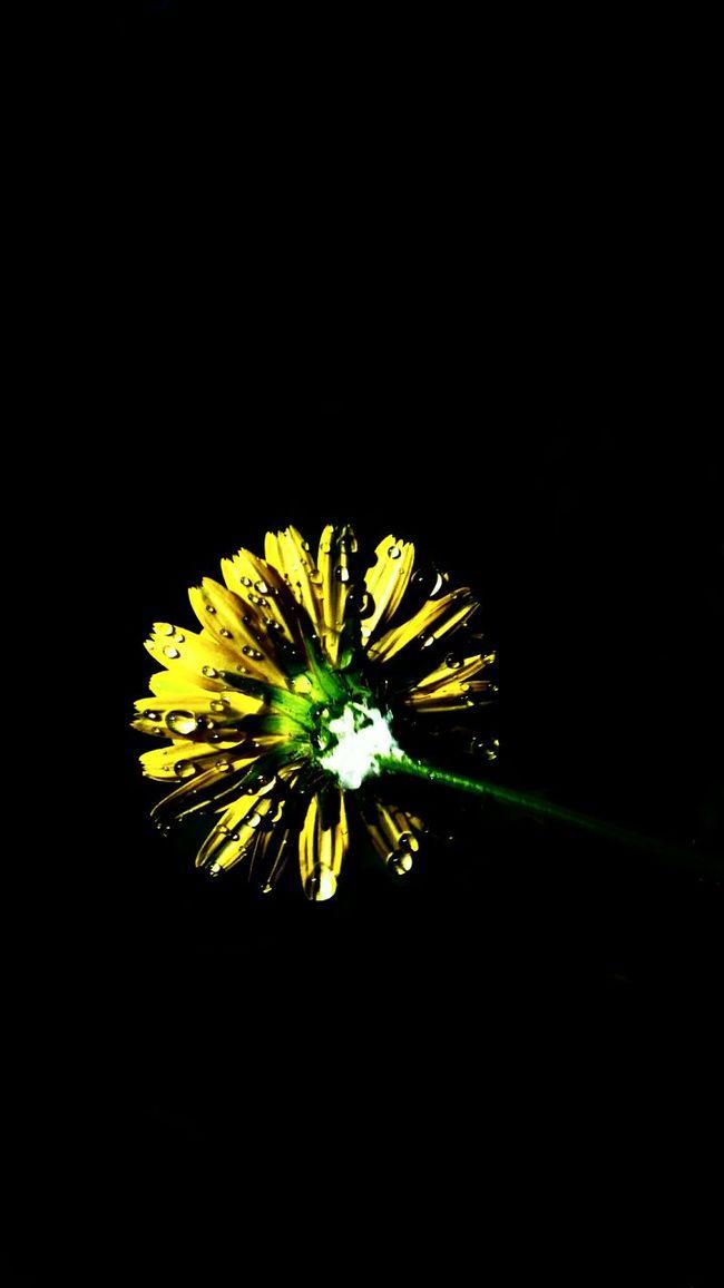 Black background pt.2 Nature Flower Flower Head Back Flower Black Yellow Black Background Close-up ExperimentalFocus Drops EyeEm Best Shots Delicate Capture The Moment Rainy Season Rain Life Detail Wild Flowers Beauty In Nature Water