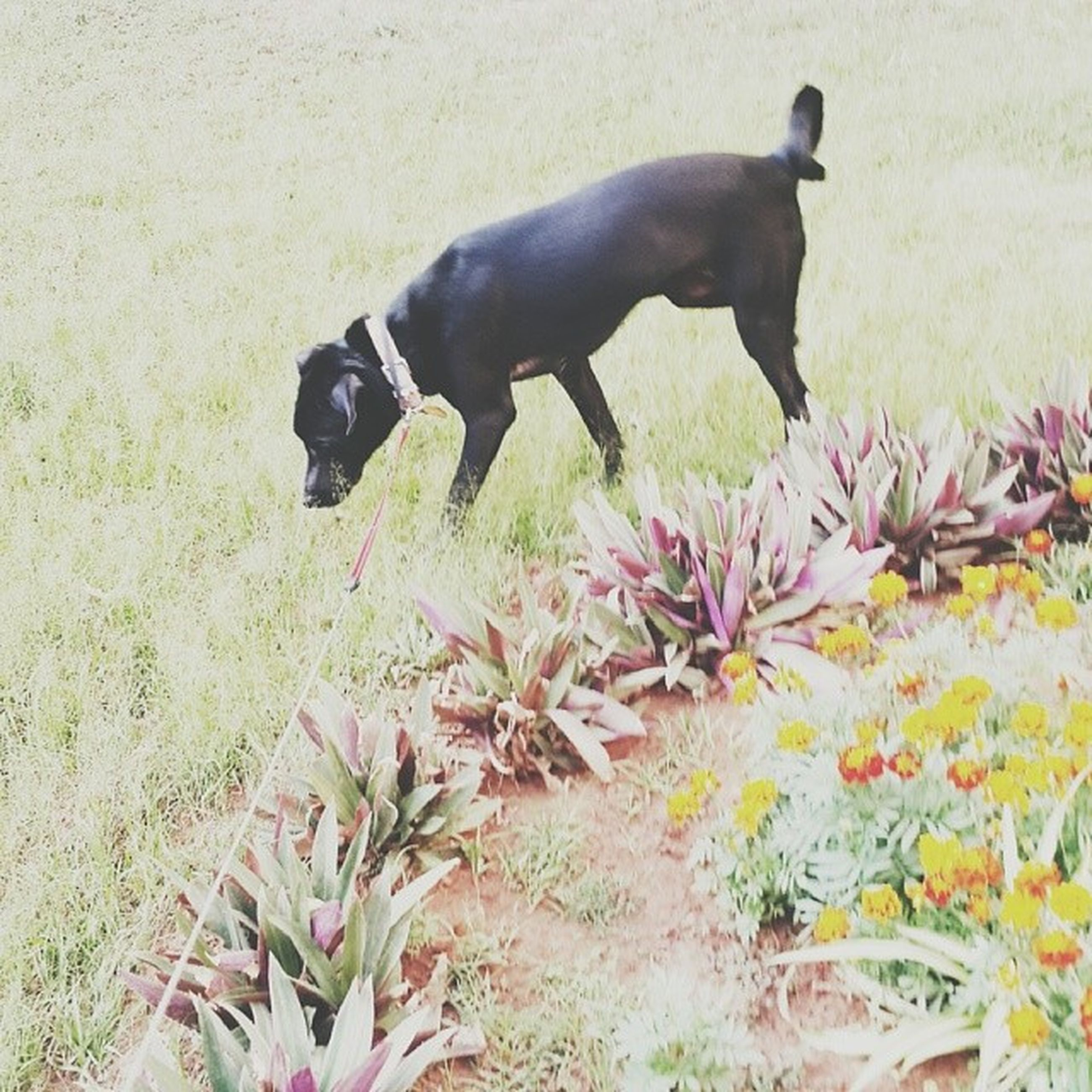 animal themes, domestic animals, mammal, one animal, dog, pets, field, flower, nature, plant, two animals, growth, grass, day, no people, standing, outdoors, high angle view, livestock, full length