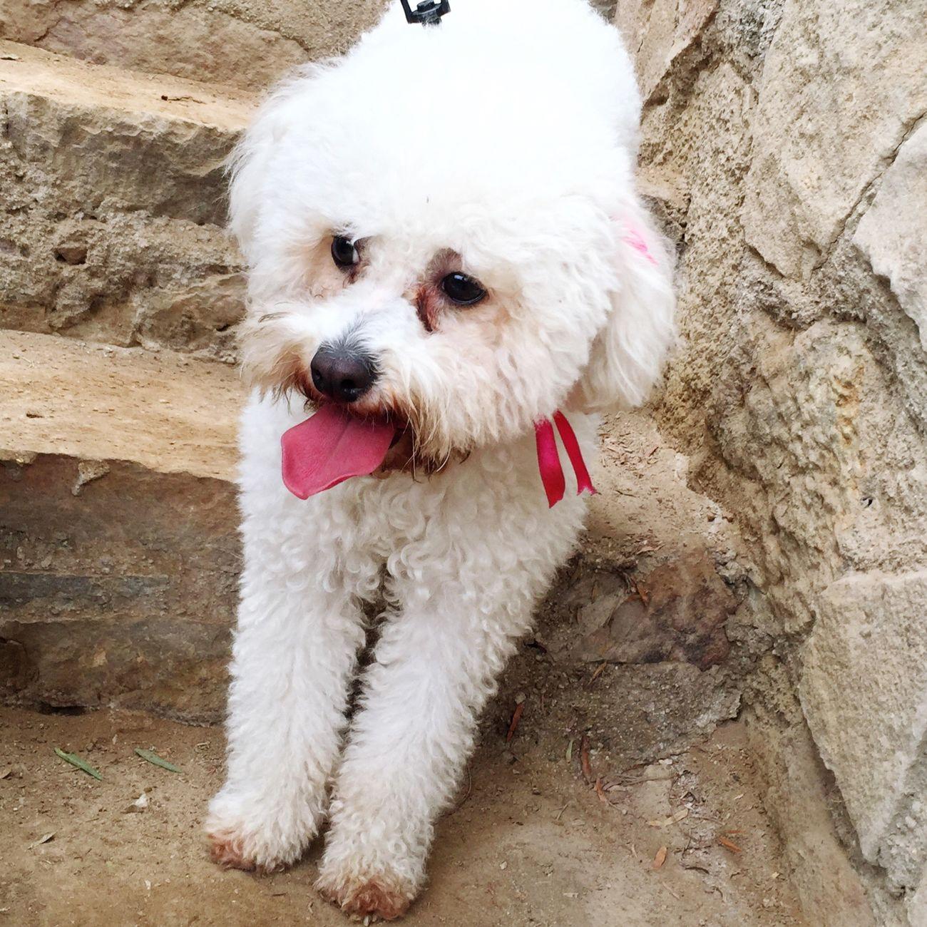 Domestic Animals One Animal Pets Dog Animal Themes Mydog Bichonfrise 💖