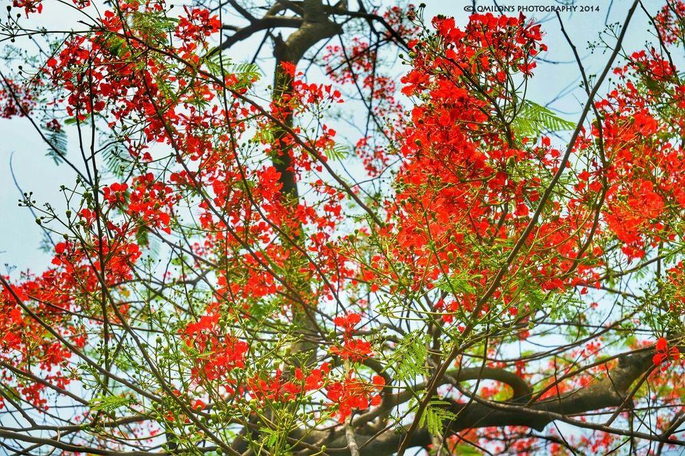 কৃষ্ণচূড়া Beautiful Flower Flowerporn EyeEm Nature Lover