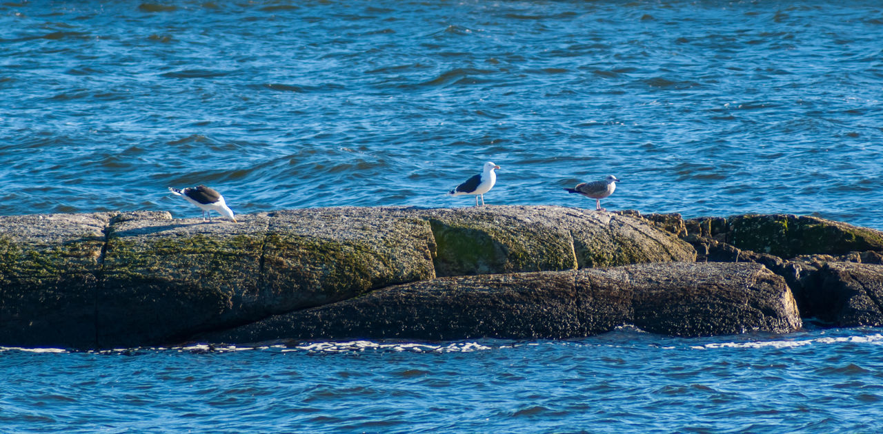 animals in the wild, bird, animal themes, animal wildlife, water, sea, no people, nature, rock - object, day, waterfront, one animal, outdoors, beauty in nature, perching, seagull, swan, spread wings, swimming, pelican