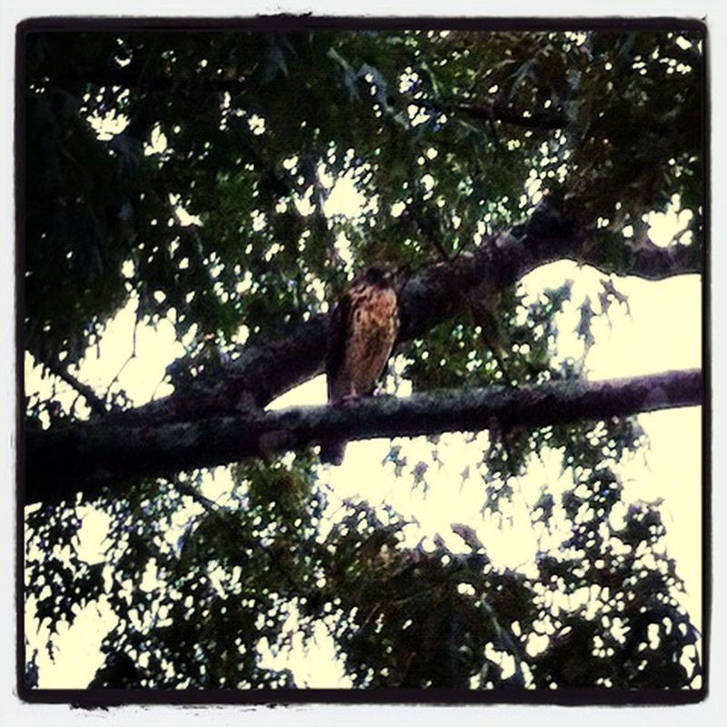 Hawk in our tree.