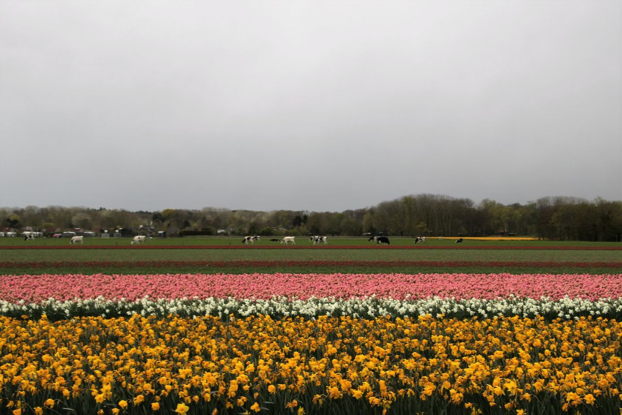 Agriculture Beauty In Nature Day Dutch Dutch Landscape Field Flower Flowers Fragility Freshness Growth Horizontal Nature No People Outdoors Rural Scene Sky Spring Tullips Weather