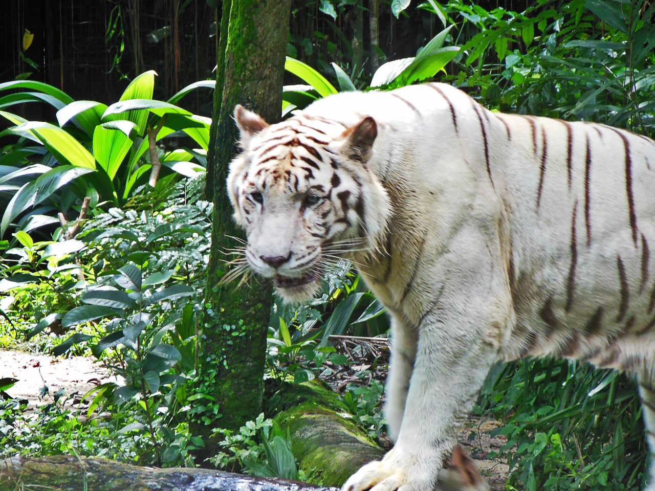 Animal Themes Animal Wildlife Animals In The Wild Close-up Animal Mammal Nature Singapore Zoological Garden Tiger White Tiger Wild Life
