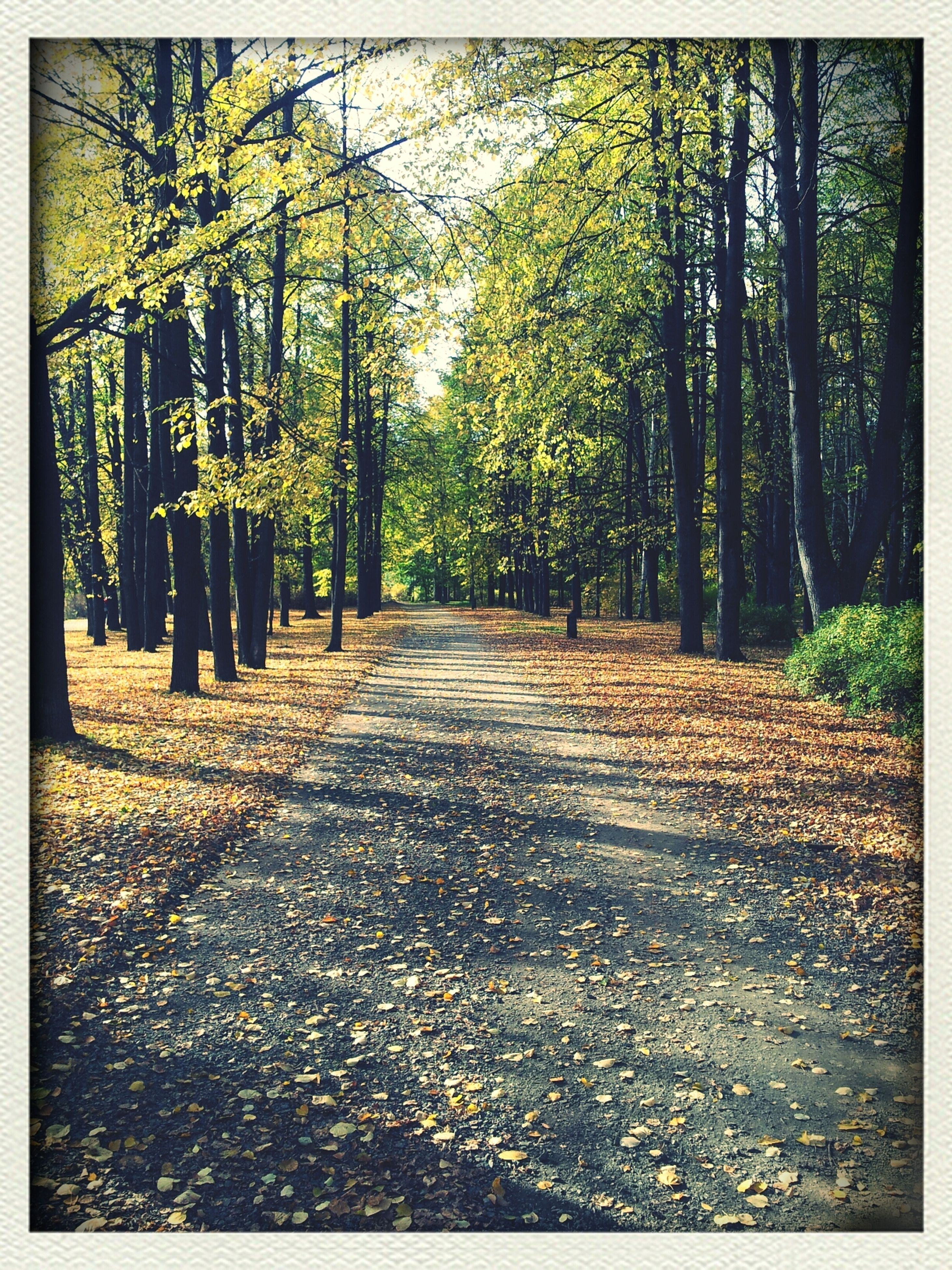 tree, the way forward, diminishing perspective, forest, tranquility, transfer print, tree trunk, vanishing point, nature, auto post production filter, growth, tranquil scene, treelined, transportation, autumn, footpath, beauty in nature, scenics, road, leaf