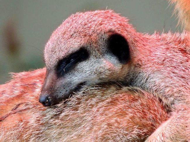 Zoo Zoo Animals  Meerkat Cute Sleeping Nature Photography