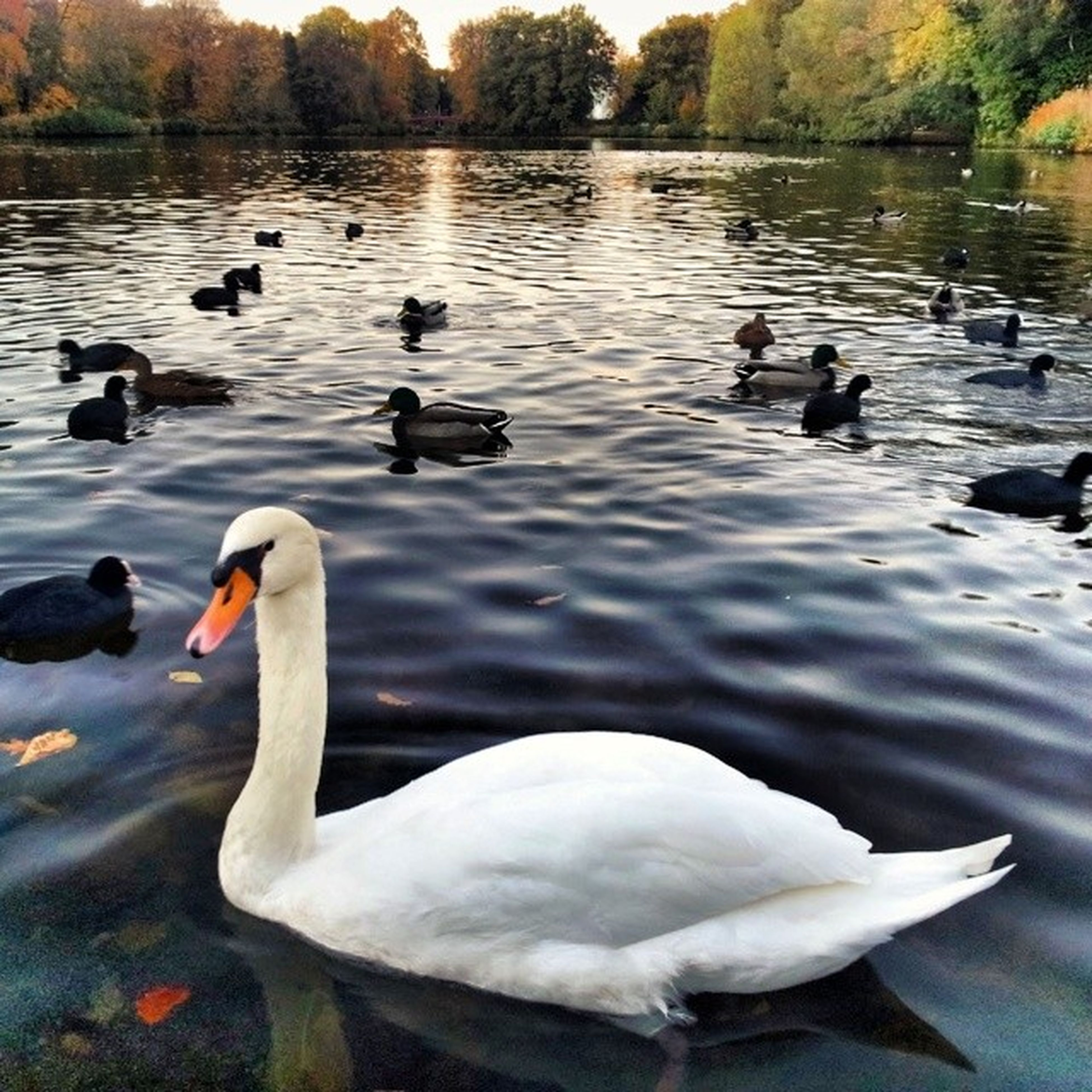 bird, animal themes, animals in the wild, water, wildlife, lake, swan, swimming, duck, flock of birds, reflection, nature, goose, water bird, togetherness, beauty in nature, lakeshore, medium group of animals, rippled