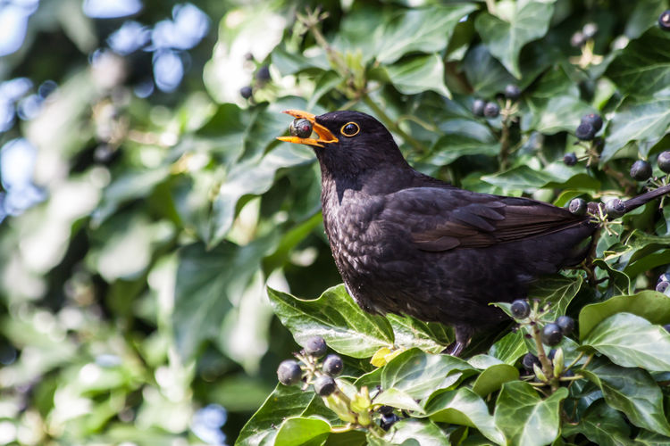 Amsel Amsel Und Beeren Bird Photography Bird With Berries Birds Birds Of EyeEm  Birds_collection Birds_n_branches Blackbird Blackbird And Berries Blackbird In Tree Blackbirds Vogel EyeAmNewHere