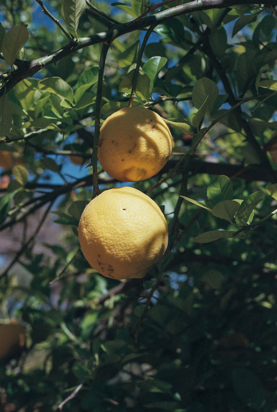 Branch Citrus Fruit Close-up Day Film Food Freshness Fruit Growth Healthy Eating Leaf Lemon Lemon Tree Lemon Trees Lemons Nature Nature Photography Nature_collection No People Oranges Outdoors Scenics Travel Photography Tree Tree Art Is Everywhere