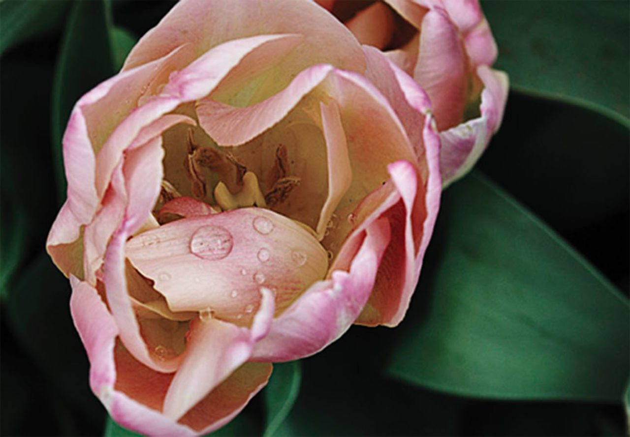 flower, petal, fragility, nature, beauty in nature, flower head, rose - flower, freshness, growth, pink color, close-up, plant, blooming, outdoors, day, peony, pedal, rose petals, no people