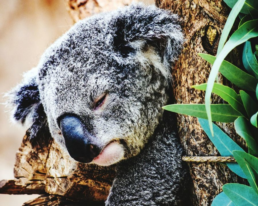 Koala Bear Zoo Animals  Check This Out Darryn Doyle Urbanphotography Beautiful Nature Beauty In Nature Public Places Taking Photos City Life Hello World Eye4photography  Lostinthought The Dithyramb Post (Banters)