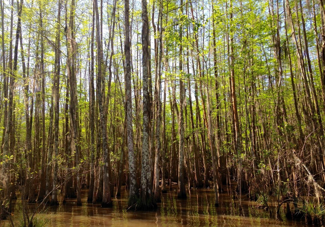 Bayou Beauty In Nature Branch Brown Day Forest Green Growth Louisiana Swamp Nature No People Outdoors Plant Scenics Spring Growth Swamp Swamp Water Thin Trees Tranquil Scene Tranquility Tree Trunk Trees Water WoodLand The Great Outdoors - 2017 EyeEm Awards