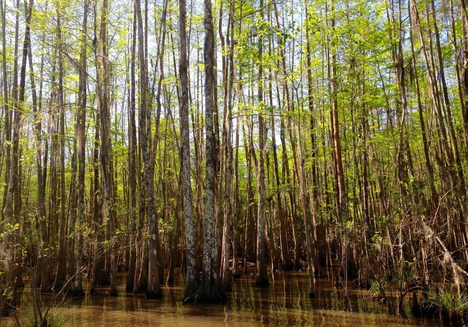 Bayou Beauty In Nature Branch Brown Day Forest Green Growth Louisiana Swamp Nature No People Outdoors Plant Scenics Spring Growth Swamp Swamp Water Thin Trees Tranquil Scene Tranquility Tree Trunk Trees Water WoodLand