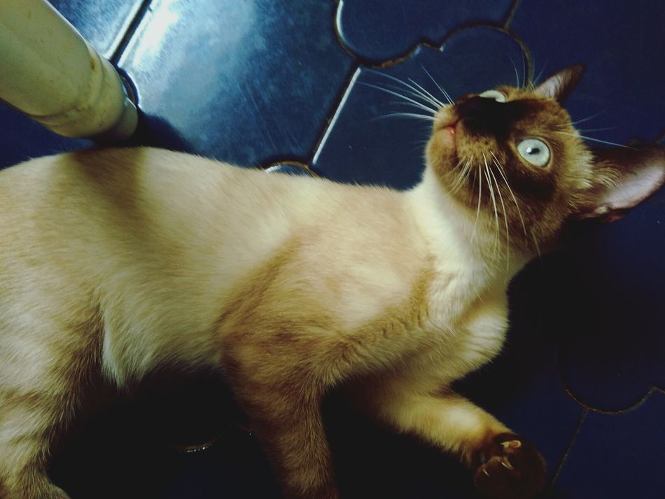 Siamesecats Animal Themes Pets No People Domestic Animals BlueEyes Thaicats Thailand Animals One Animal Day