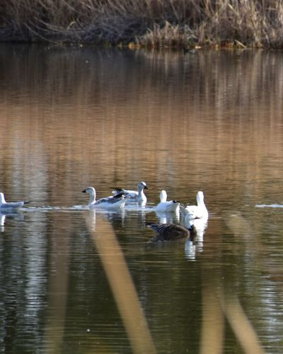 Animals In The Wild Blue Goose Lake No People Snow Geese Swimming Togetherness Water