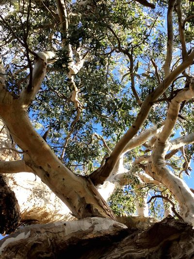 TreePorn Lookingup Tall Trees Leaves Green Leaves Gum Trees Beauty In Nature Nature Nature_collection Nature Photography Nature On Your Doorstep Taking Photos Walking Around Beautiful Nature Beauty In Ordinary Things Sunday Hanging Out