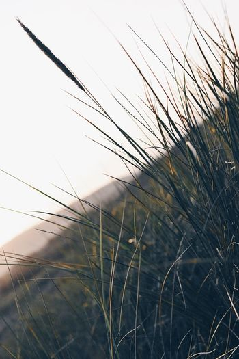Technology Growth Nature Cereal Plant Outdoors No People Close-up Clear Sky Field Rural Scene Sky Day Wheat Grass Timothy Grass Agriculture Scenics Beauty In Nature Ear Of Wheat