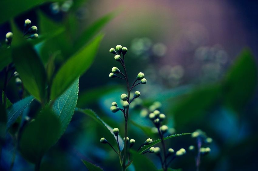 Flowers have beautiful dreams to bloom Flower Bud In My Garden Bloom Beauty In Nature Nature Growth Life Bokeh Photography Freshness Close-up Fragility Day Spring Flowers Getting Inspired Flowerlovers