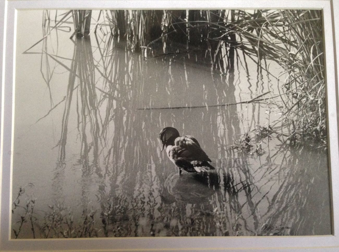 Analogue Photography Analog Analogue Birds Water Reflections Blackandwhite Monochrome Sepia