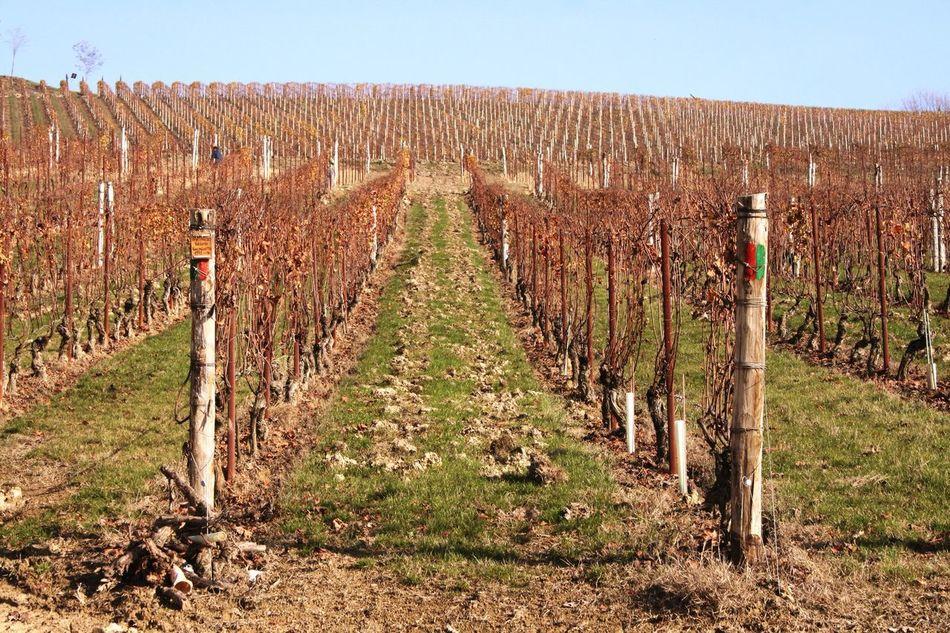 Vineyard🍇 Vineyard Vineyard Cultivation Grapes Good Wine Good Wine-good Time Langhe Barolo Barolo Wineyards EyeEm Nature Lover EyeEm Best Shots - Nature EyeEm Gallery