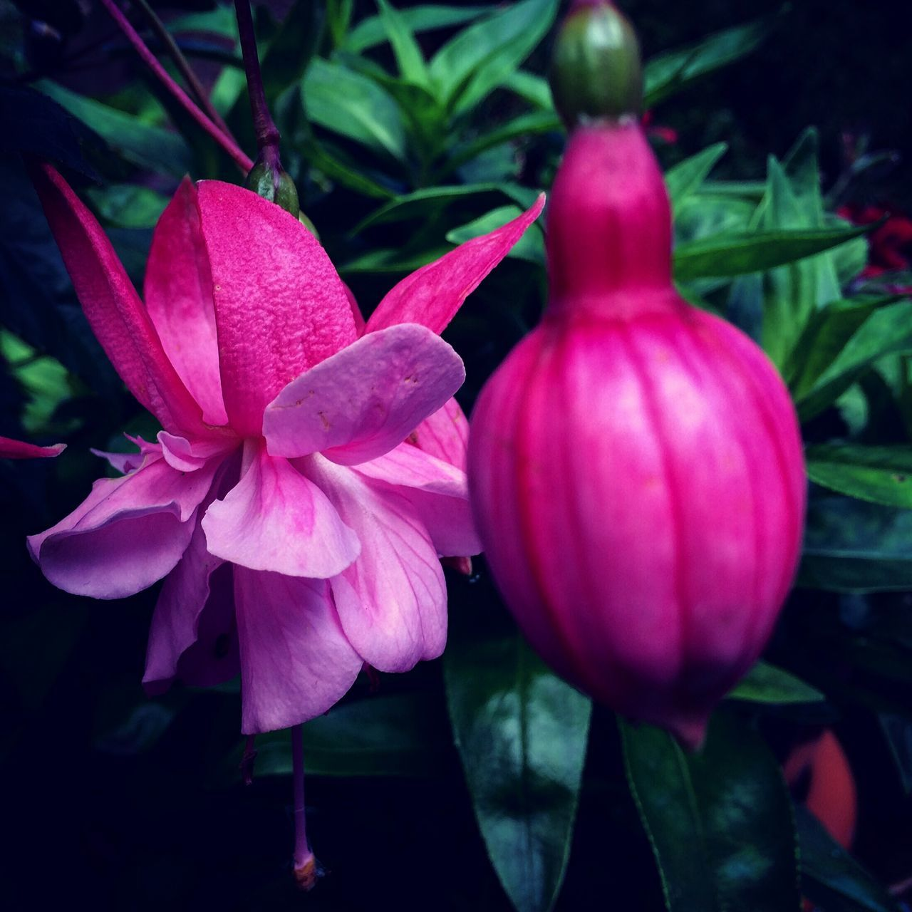 flower, petal, pink color, growth, no people, freshness, beauty in nature, nature, close-up, fragility, plant, flower head, day, outdoors