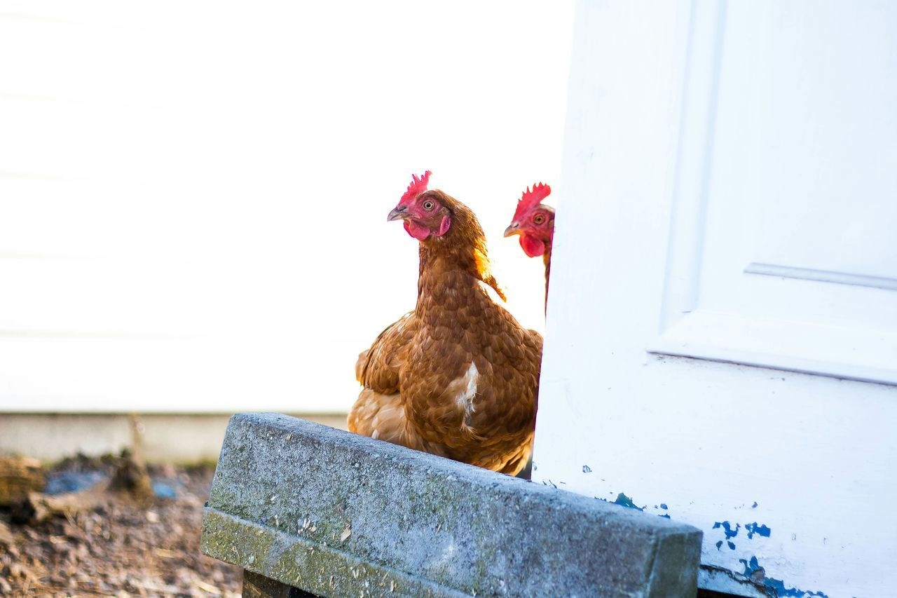 Chicken Keeping Watch Home Animals Farm Farming Nature Portrait