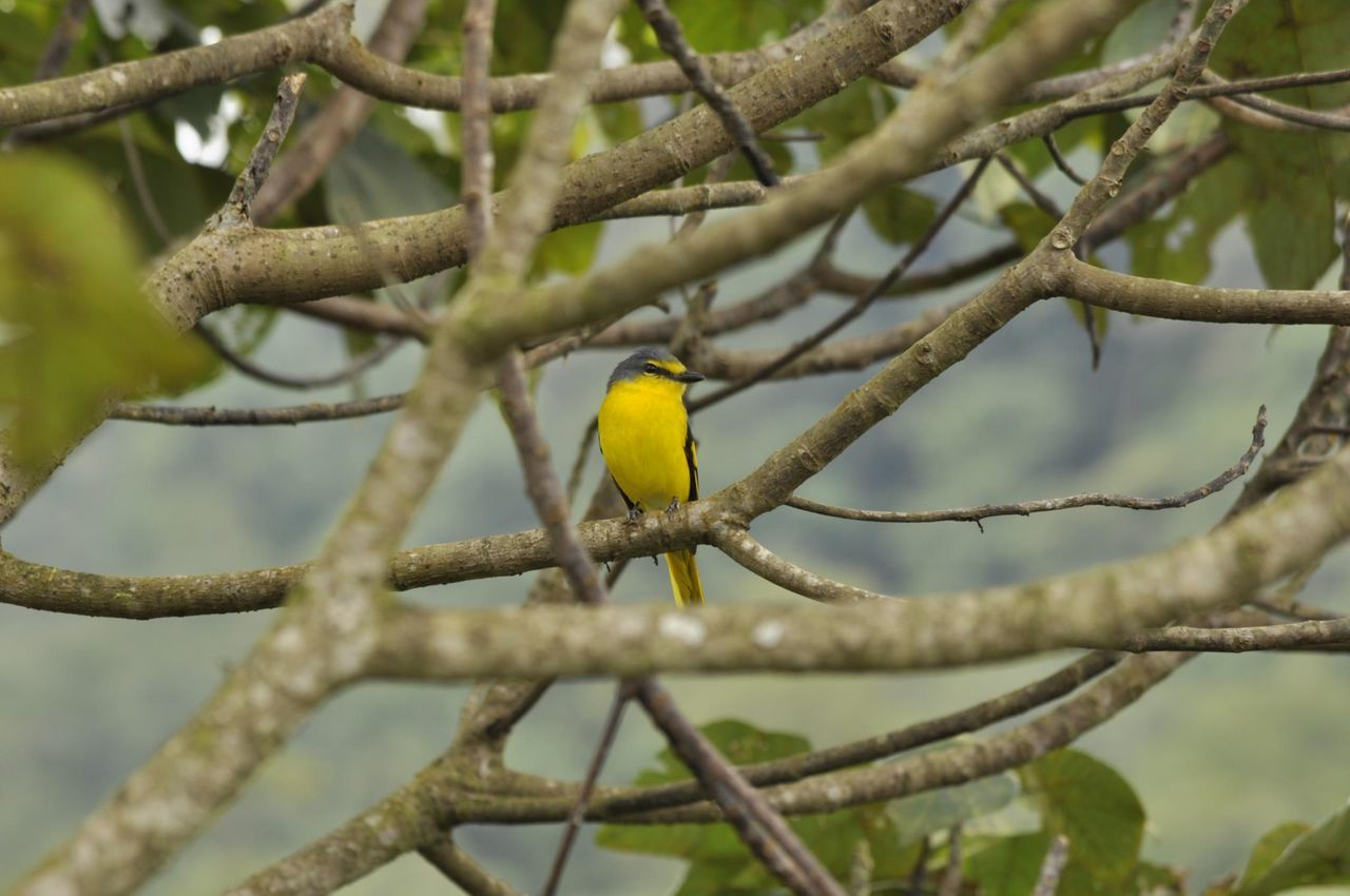 Western yellow wagtail Animal Themes Animal Wildlife Animals In The Wild Beauty In Nature Bird Branch Close-up Day Focus On Foreground Nature No People One Animal Outdoors Perching Tree Western Yellow Wagtail Yellow EyeEmNewHere The Week On EyeEm