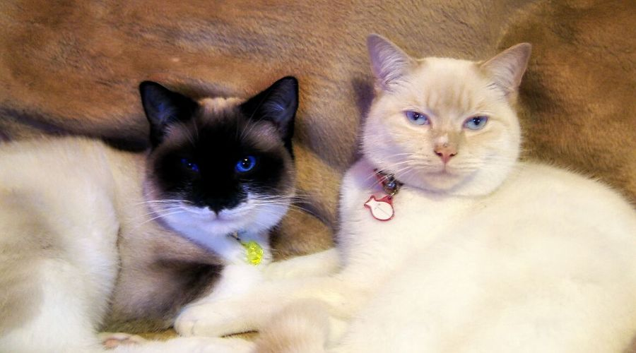 Pippin and Ambrose Siamese Cat Seal Point Cream Point Cats Relaxing Cat Brothers