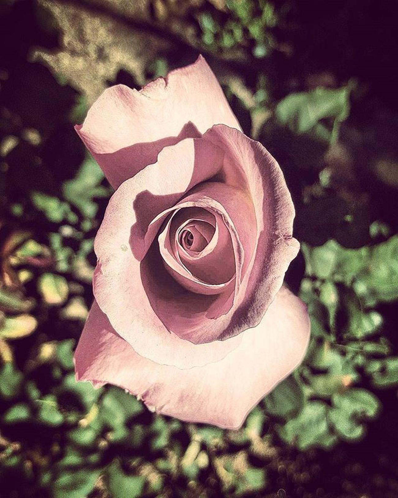 Rosé Fade Flowers Pink Desertlife Desert Desertrose Livelife Lovelife NeverForget
