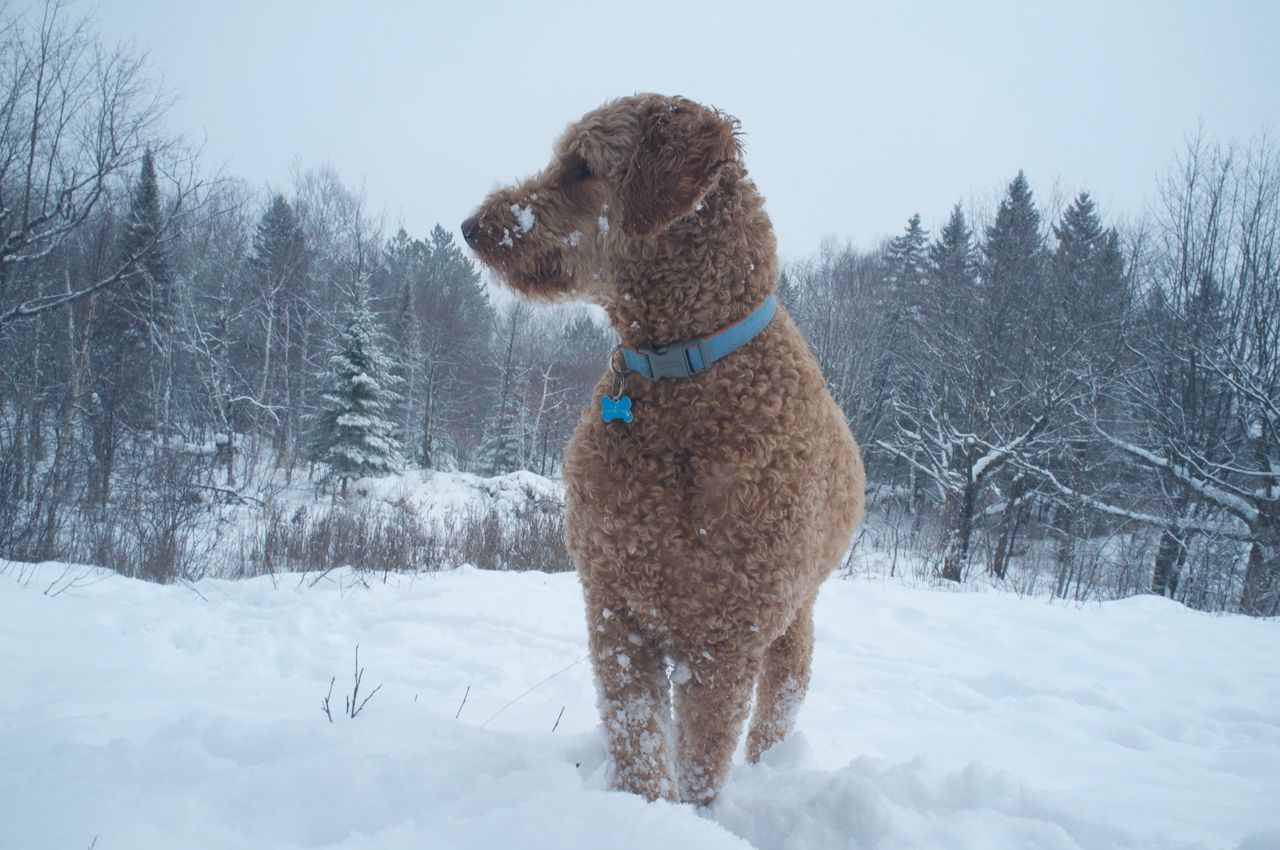 January 26, 2016 Animal Animal Hair Animal Head  Animal Themes Carefree Cold Cold Temperature Cute Dog Domestic Animals Duluth Goldendoodle Mammal Minnesota One Animal Perspective Pet Collar Pets Portrait Relaxation Sitting Weather White Winter