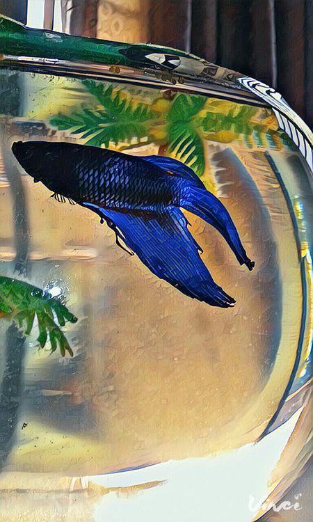 Aquarium Aquarium Life Aquatic Life Aquarium Photography Fish Aquariumfish Fighter Fish Petfish Blue Fighter
