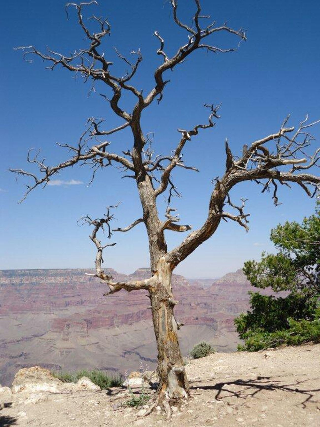 Nature Trees United States Grand Canyon