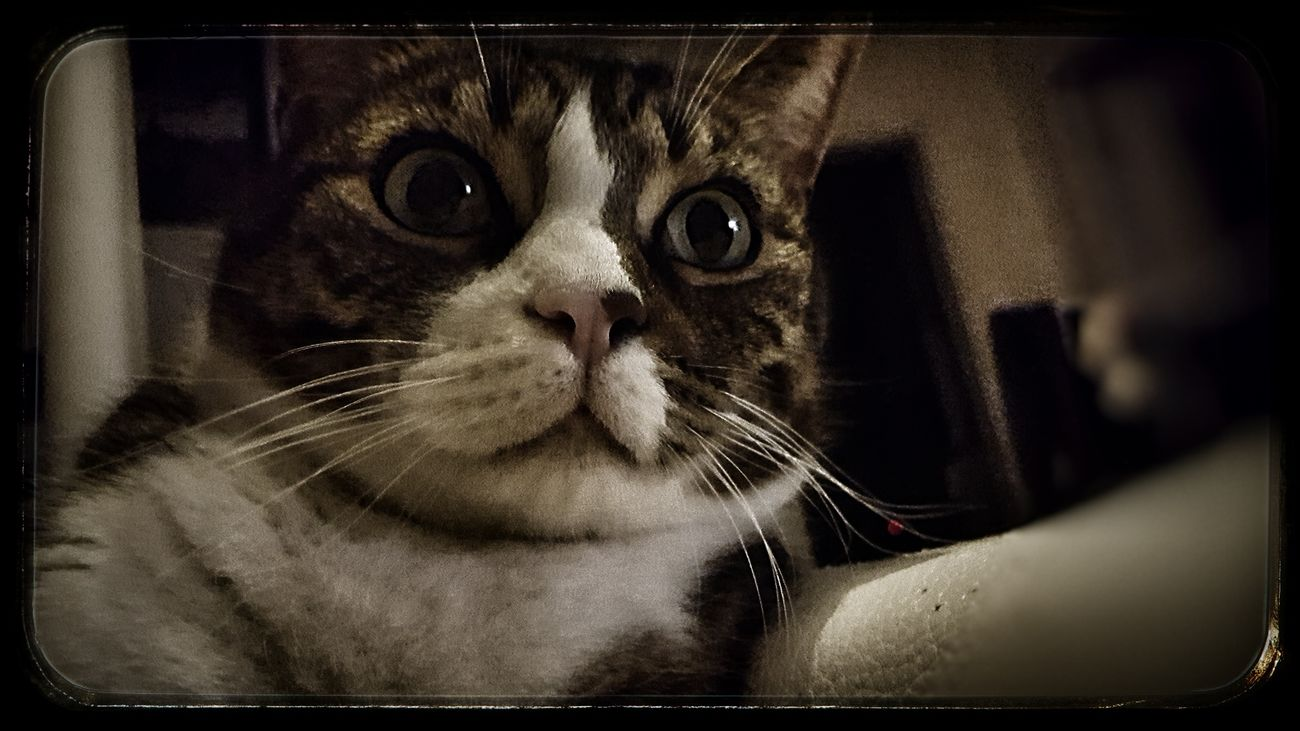Cat Pets Indoors  Portrait Animal Themes Shocked Face One Animal Shock Babe Cute Cute Pets