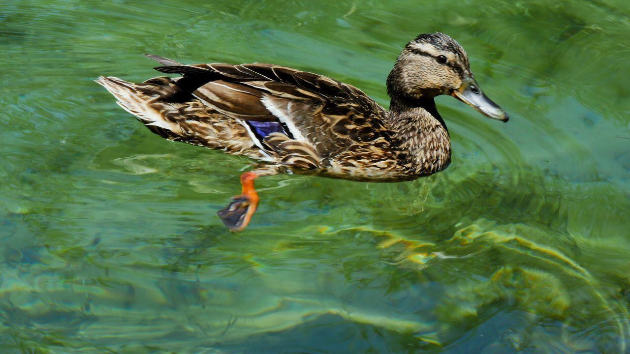 animals in the wild, animal themes, duck, one animal, bird, animal wildlife, mandarin duck, day, waterfront, lake, mallard duck, water, nature, outdoors, swimming, no people, close-up