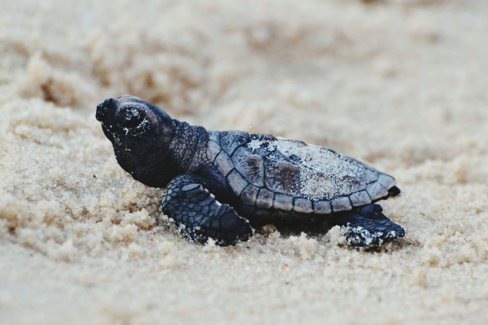 Animal Wildlife Reptile One Animal Animals In The Wild Sand No People Beach Nature Day Tortoise Outdoors Sea Turtle Close-up Sea Life Animal Themes Tortoise Shell Brazil Brasil Pipa Tiny Tiny Turtle