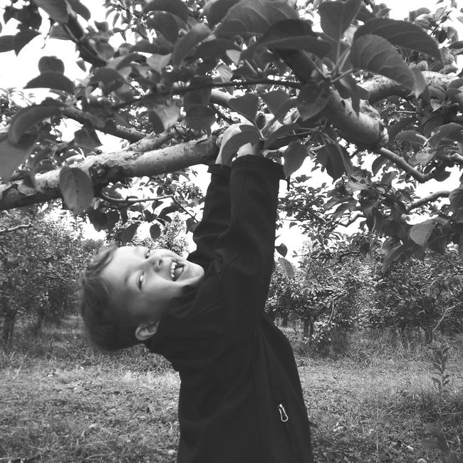 Apple Picking Hanging Around Childhood Branch Trees Apple Orchard