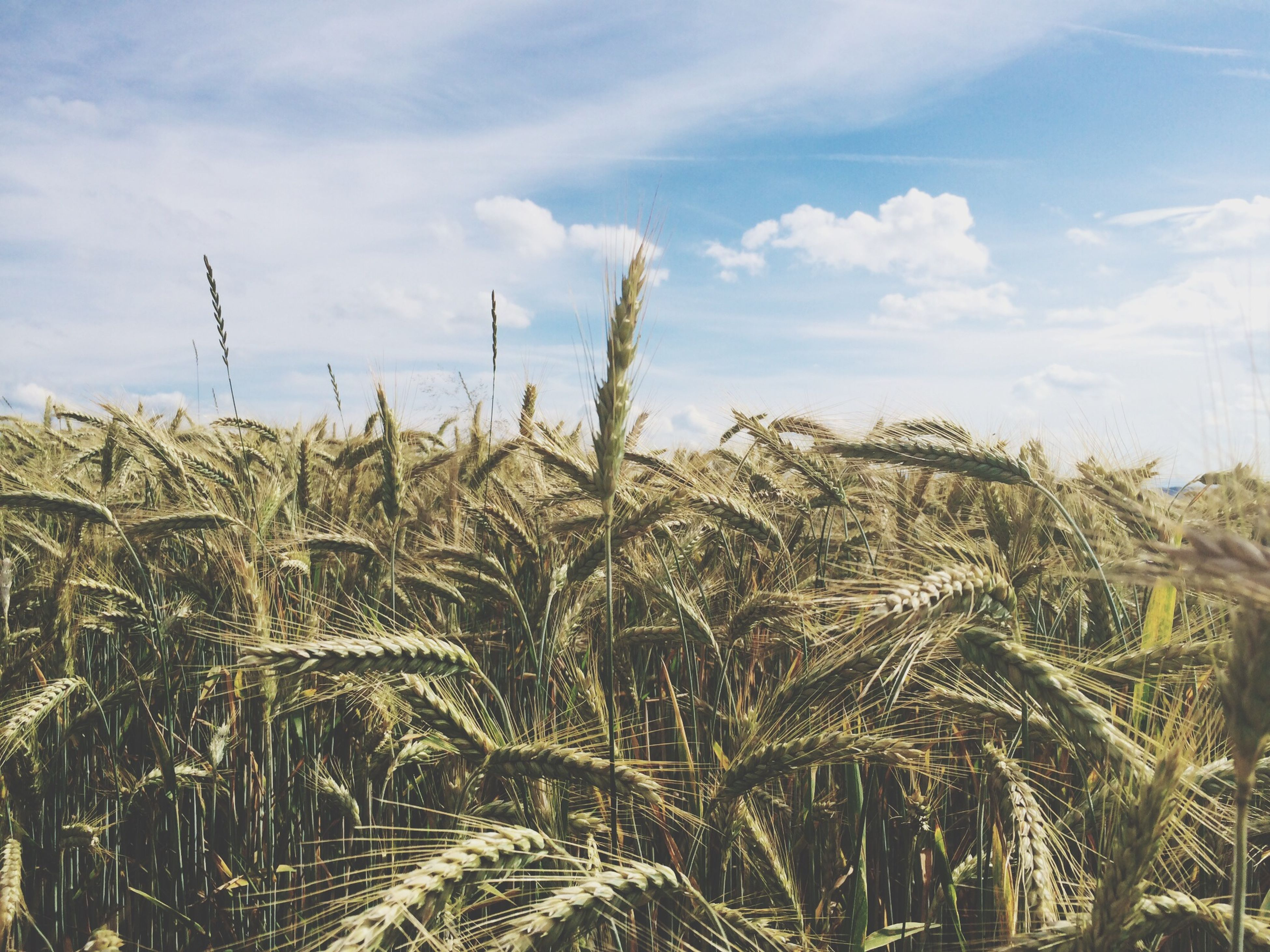 growth, sky, agriculture, field, rural scene, plant, crop, nature, farm, tranquility, beauty in nature, cereal plant, landscape, tranquil scene, growing, cloud - sky, wheat, day, scenics, cloud
