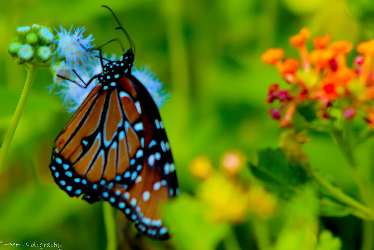 animal themes, butterfly - insect, one animal, insect, animals in the wild, spotted, nature, animal markings, animal wildlife, close-up, focus on foreground, beauty in nature, no people, outdoors, day, fragility, flower, flower head, freshness