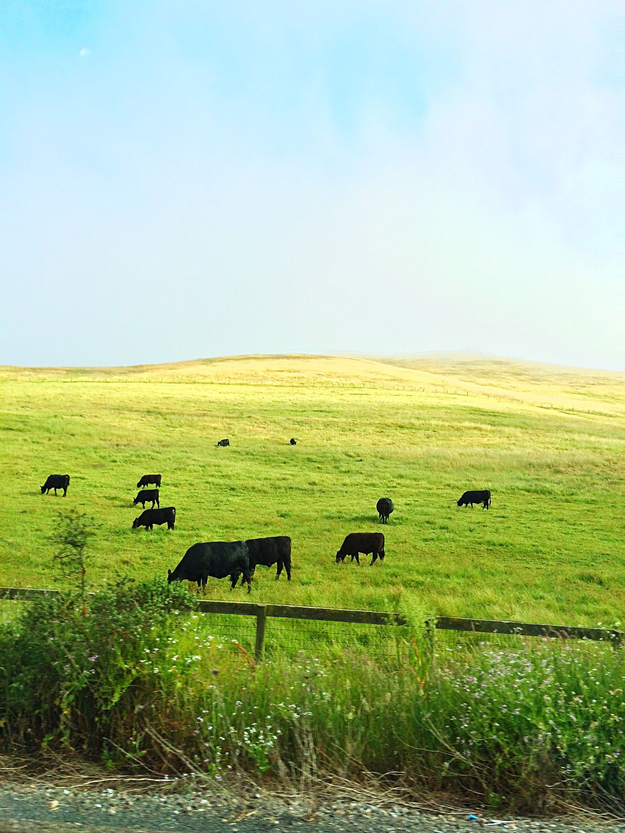 Countryside Pasture Nature Photography Cows Grazing Grazing Cattle