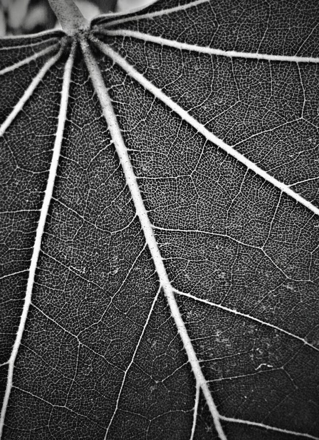Peepal Tree Leaf Veins Natural Pattern дерево Black And White Photography Leaf Fantasy Leaf Ice Age