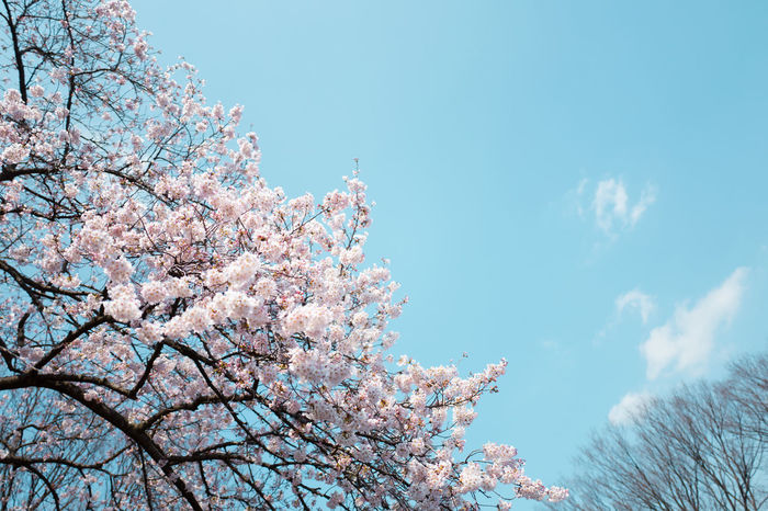 Cherryblossoms in the heart of Tokyo Beauty In Nature Blossom Branch Cherry Cherryblossom Clear Sky Close-up Day Flower Fragility Freshness Growth Japan Kirschblüte Low Angle View Nature No People Outdoors Pink Color Scenics Sky Springtime Tree